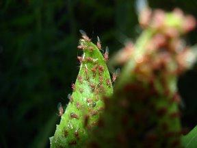 Little Red Sunflower Bugs