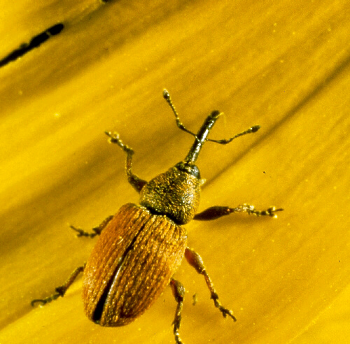 Red Sunflower Seed Weevil