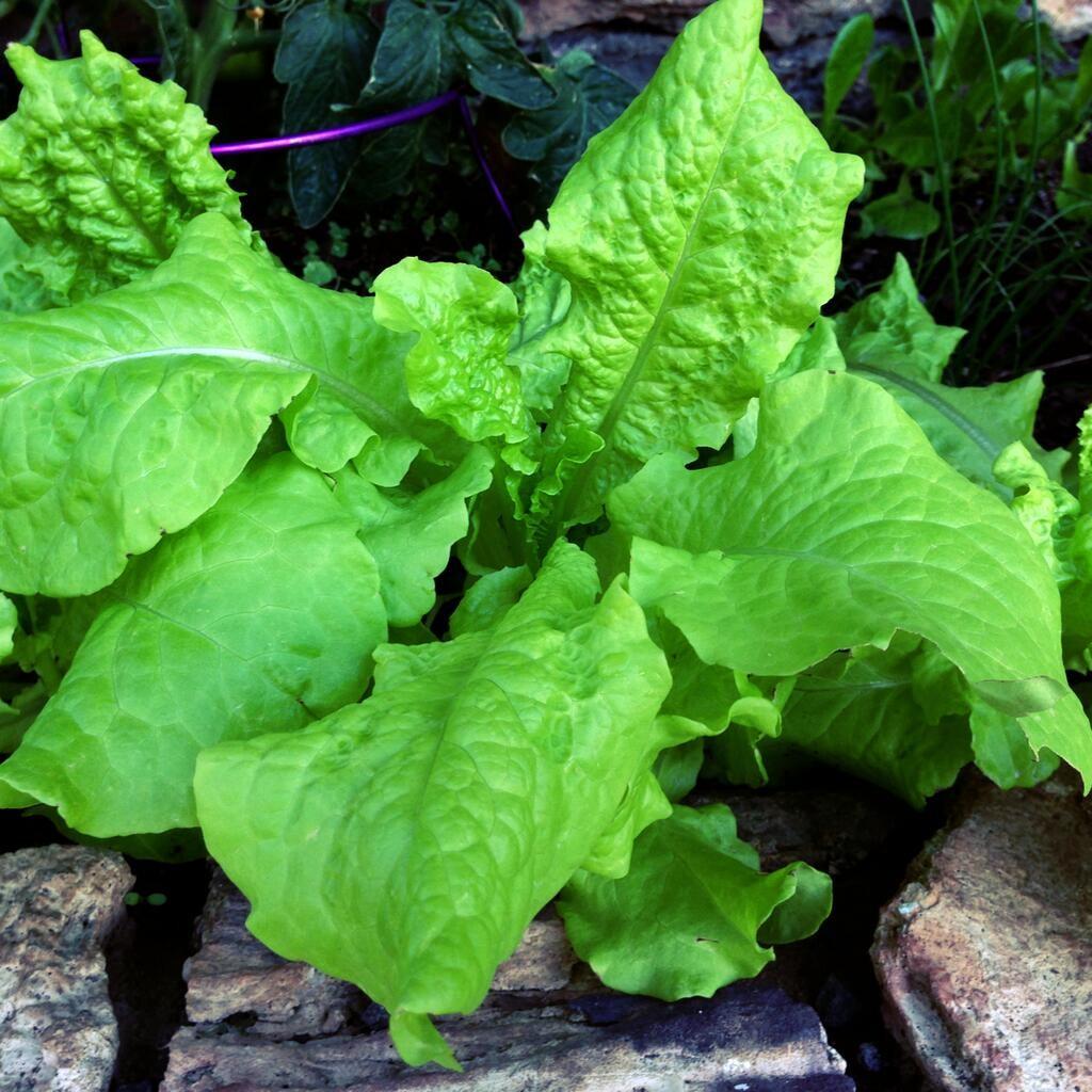 photo of lettuce taken with Pressgram