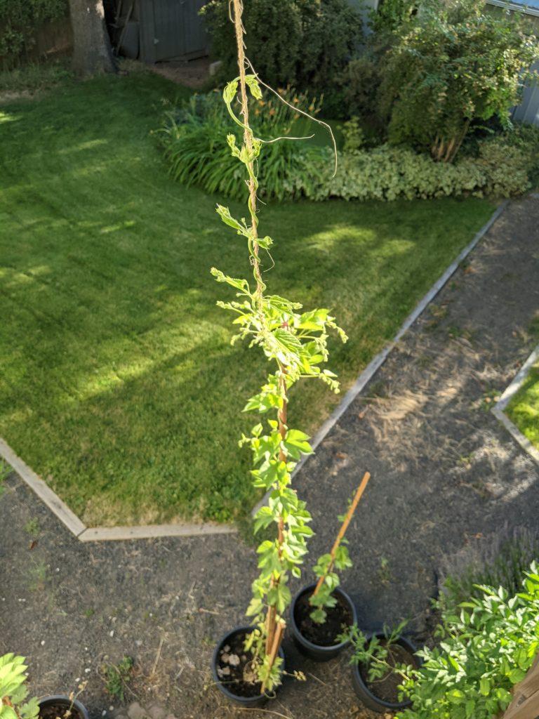 An overhead image of a 13.5 foot hop vine.